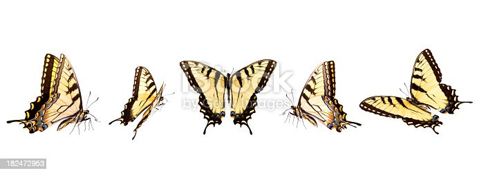 Tiger Swallowtail butterflies in numerous flying positions isolated on white: basking, spread and V-shape. Lined up in a row these tiger butterflies will make your project stand out. Shot with a Canon 1Ds Mark III