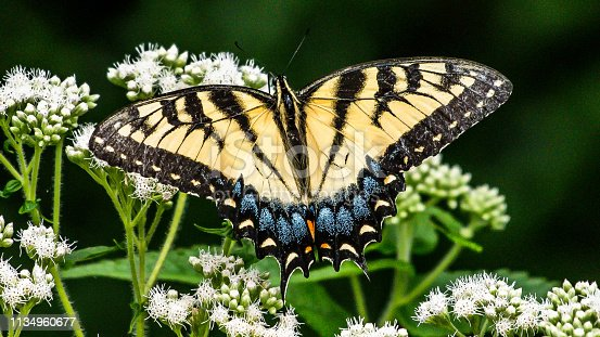Tiger Swallowtail butterfly and other yellow winged insect