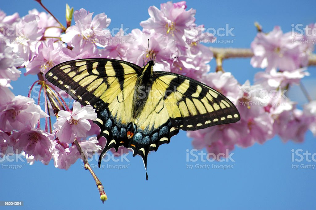 Tiger Swallowtail Butterfly in Spring royalty-free stock photo