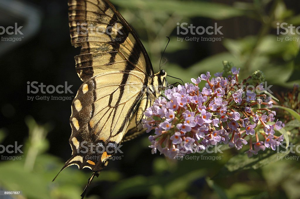 Tiger Swallowtail Butterfly on Purple Flower royalty-free stock photo