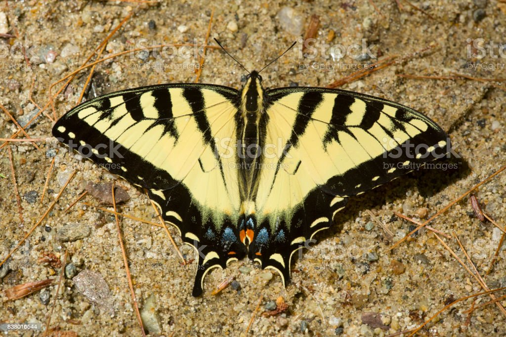 Tiger swallowtail butterfly on sand in New Hampshire. stock photo