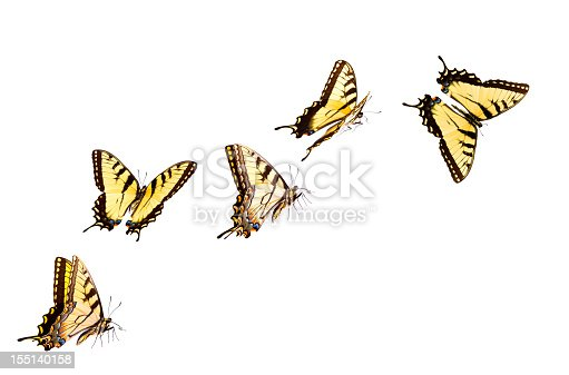 Tiger Swallowtail Butterflies Flying