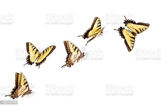 Tiger swallowtail butterfly picture id155140158?b=1&k=6&m=155140158&s=612x612&h=9fy5slkyymvflmx86z5xb2zmy8x e692n1hpurhvjcy=