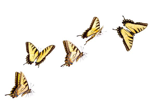 tiger schwalbenschwanz - schmetterling stock-fotos und bilder