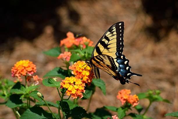Tiger swallowtail butterfly picture id534307218?b=1&k=6&m=534307218&s=612x612&w=0&h=pf9himfacmjtnpjbeqnr pkvxsq8lbdx3ujpkuqrcds=