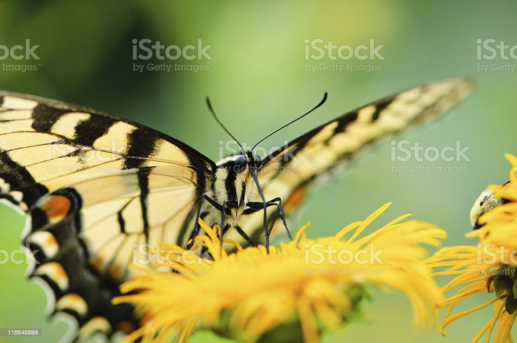 Tiger Swallowtail Butterfly sitting on a yellow flower stock photo