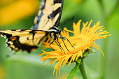 Tiger Swallowtail Butterfly (Papilio glaucus),  sitting on a yellow flower  against a blurred green background.