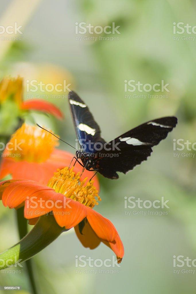 Tiger Swallowtail on orange flower royalty-free stock photo