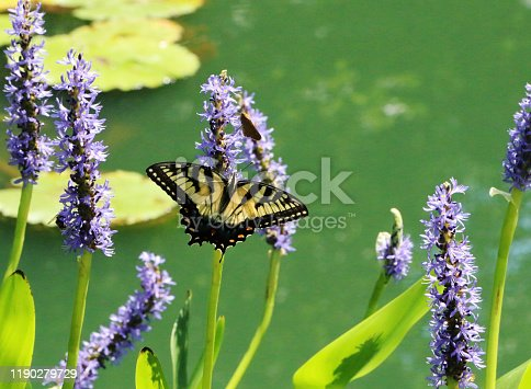a black and yellow swallowtail on a purple flower near a pond