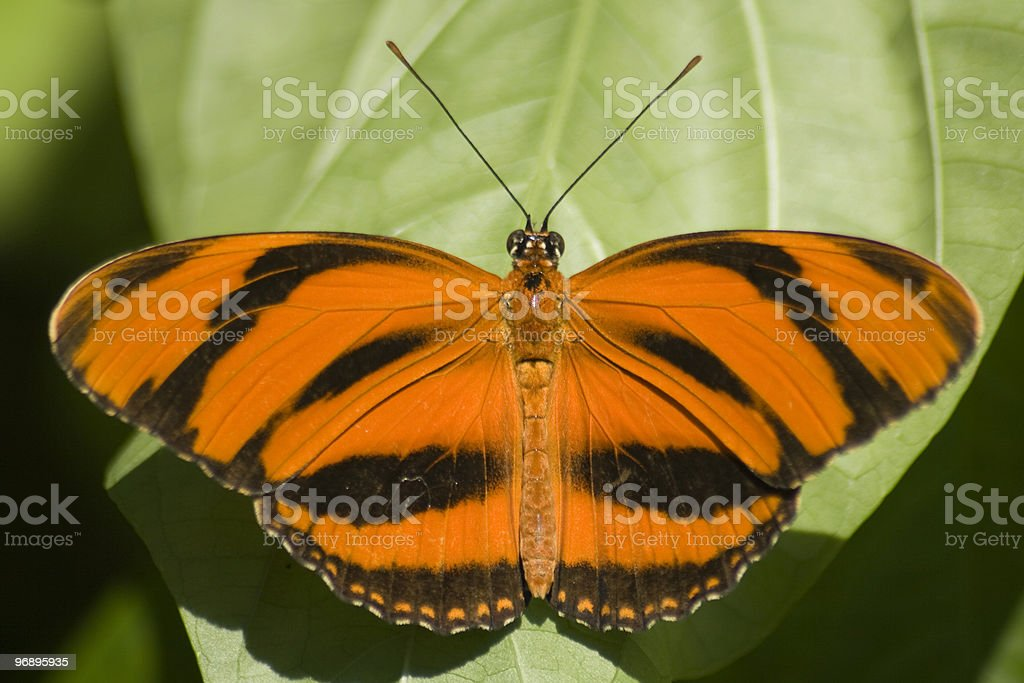 Tiger Swallowtail royalty-free stock photo