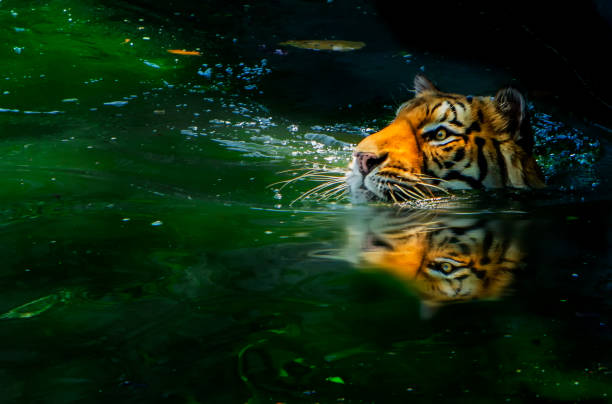 Tiger swimming in the forest picture id1083218130?b=1&k=6&m=1083218130&s=612x612&w=0&h=aztqbbzu9m3hch3 ase7abz3zappvqtt3x0v8alujbu=