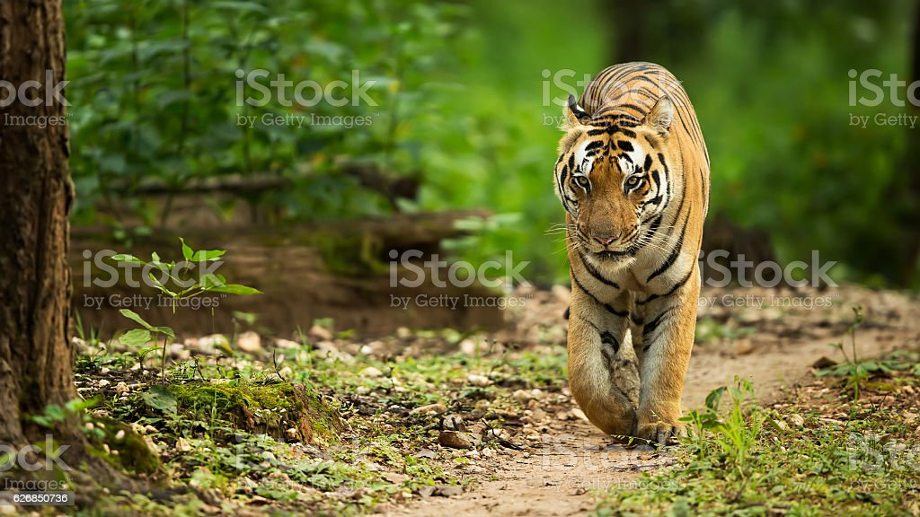 Tiger Walking Head On stock photo