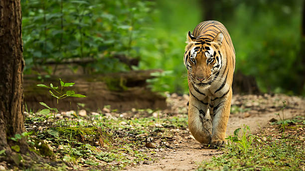 tiger walking head on - tiger stock photos and pictures