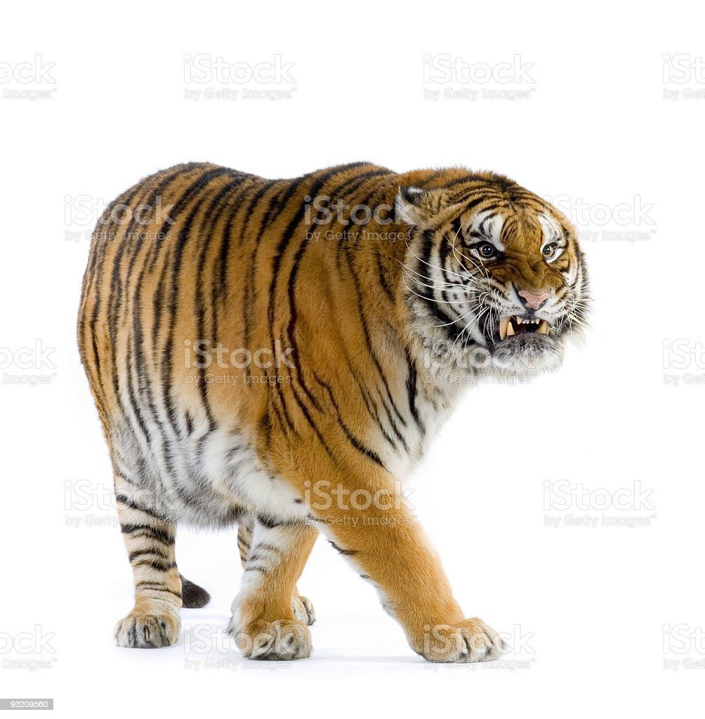 Tiger walking stock photo