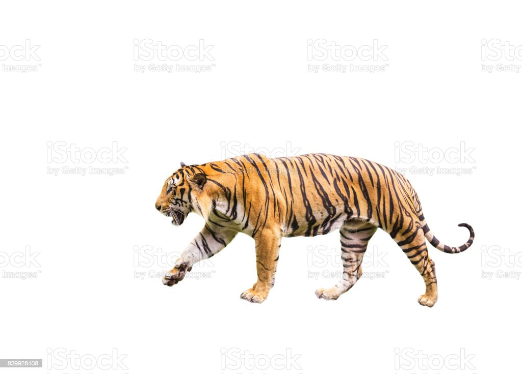 tiger walking  relax isolated on white background stock photo