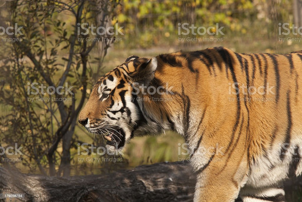 Tiger Walks in Front of Bush royalty-free stock photo