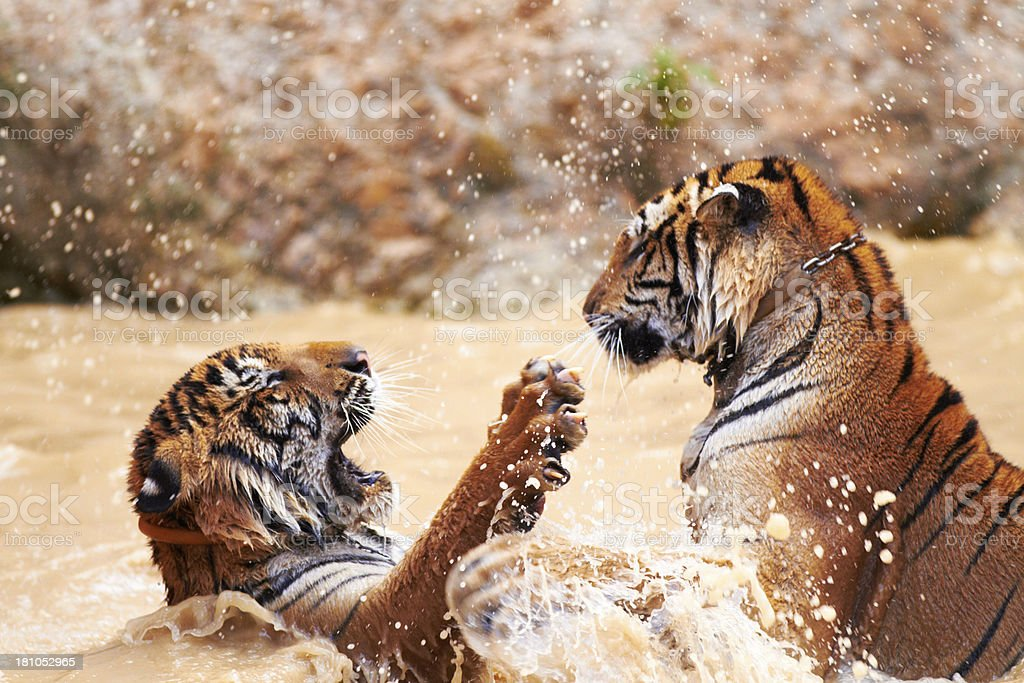 Tiger watersports stock photo