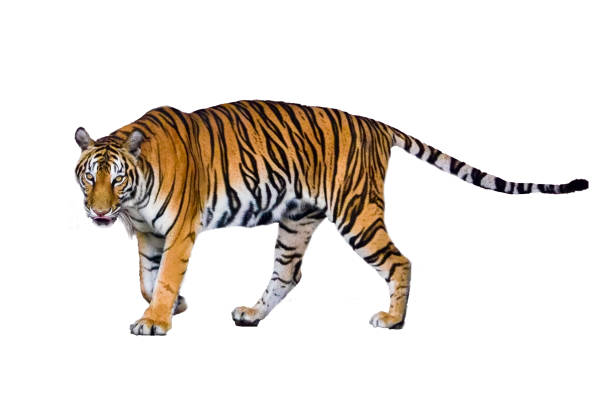 tiger white background isolate full body - tiger stock photos and pictures