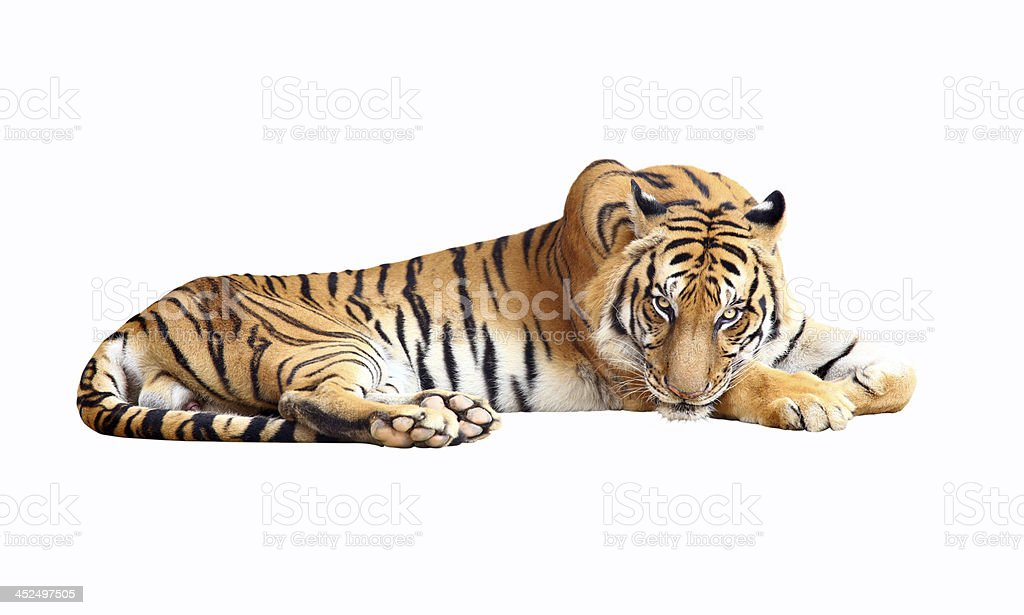 Tiger with clipping path stock photo
