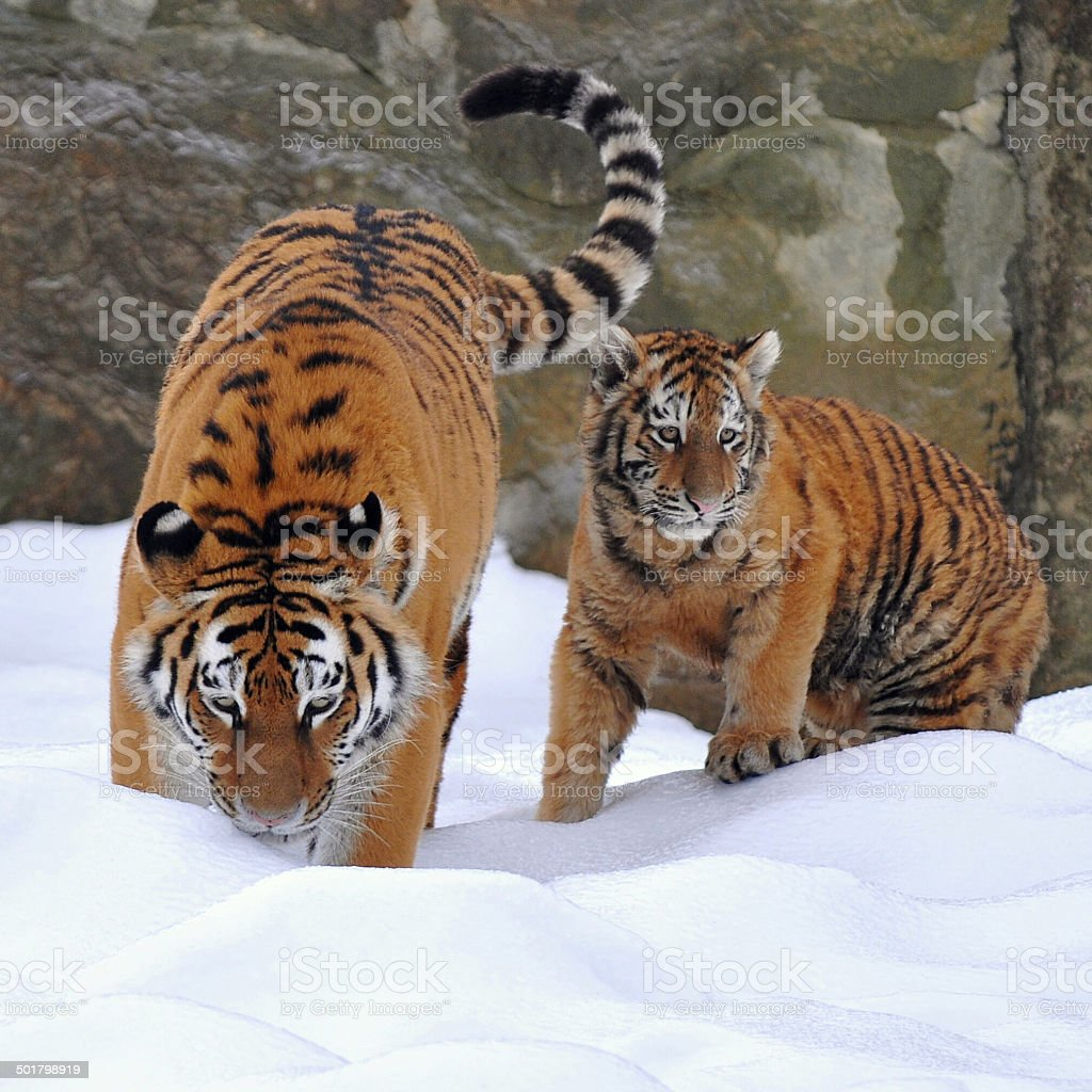 tiger with young one stock photo
