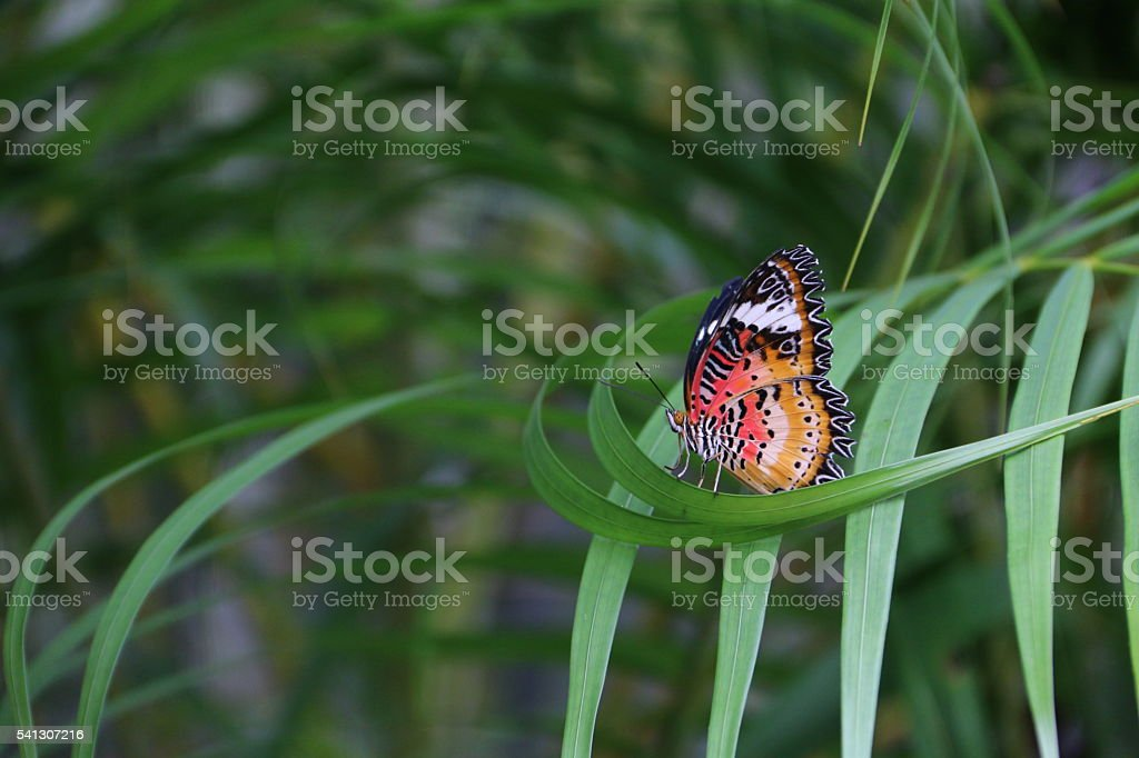 tiger-colored butterfly on a leaf stock photo
