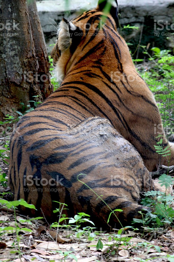 Tigers Back stock photo
