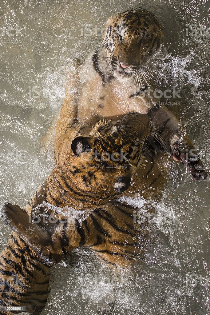 Tigers battle royalty-free stock photo