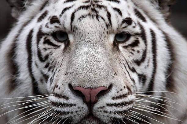 Tigers face picture id182229726?b=1&k=6&m=182229726&s=612x612&w=0&h=cwbasdlmgkogetvatql udn5vtxp f943is4wtgabrs=