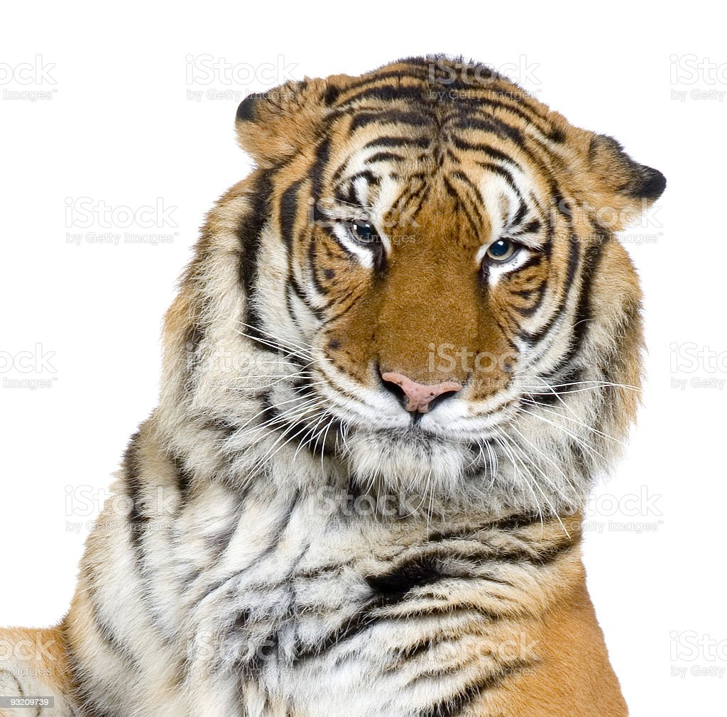 tigers face stock photo more pictures of animal istock
