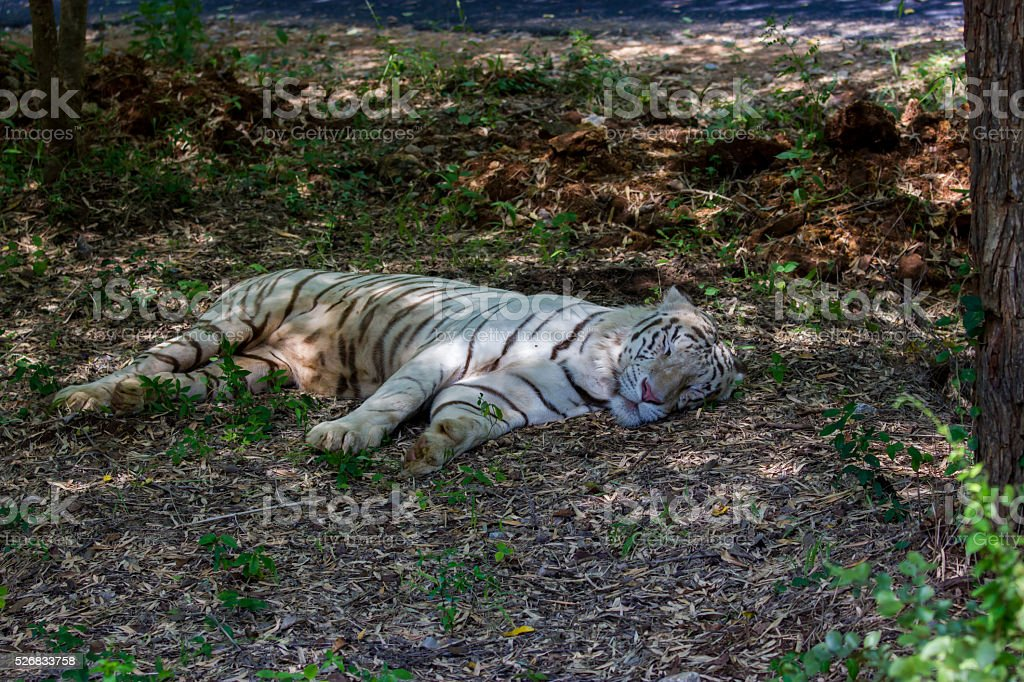 Tigers In India Roaming Free Stock Photo - Download Image