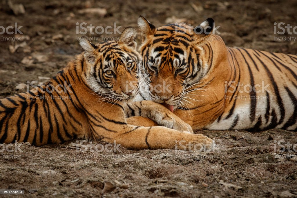 Tigers mother and cub resting in the shadow stock photo