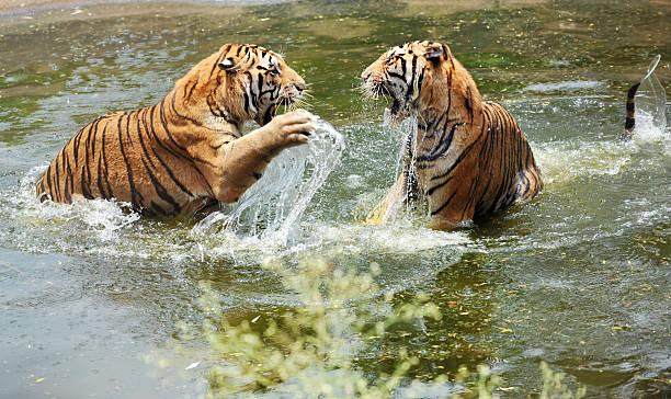 tigers Spielen im Wasser – Foto