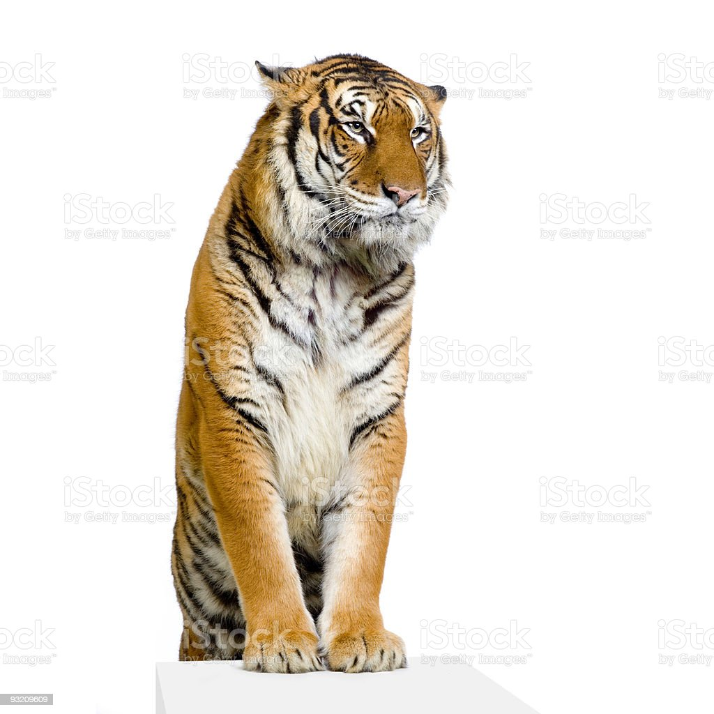 Tiger's posing royalty-free stock photo