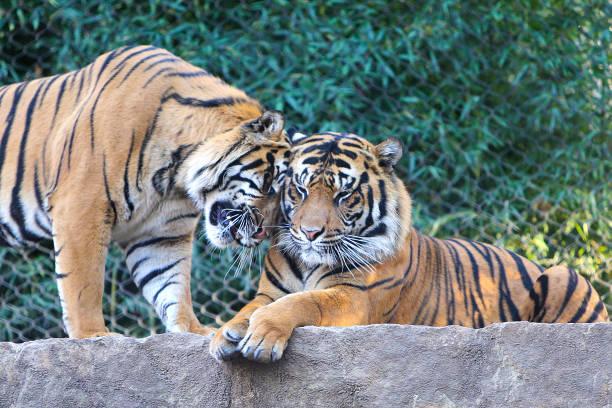 Tigers showing love picture id954876404?b=1&k=6&m=954876404&s=612x612&w=0&h=3zrsqxf4kbczkxi3r9igfjgyxlbvkejoooq5tq8cdko=