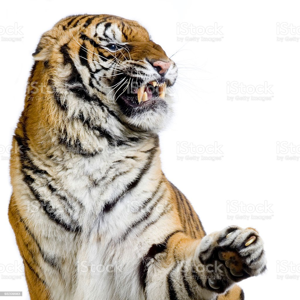 Tiger's Snarling stock photo