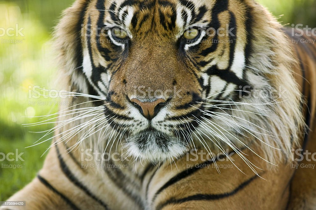 Tiger's Whiskers royalty-free stock photo