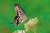 istock VH510 Tigerswallowtail(butterfly) 1047574644