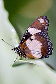Tigger look butterfly profile side portrait