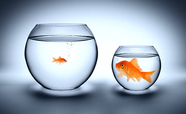 tight concept big goldfish in a small aquarium, and reverse - outgrown concept small stock pictures, royalty-free photos & images