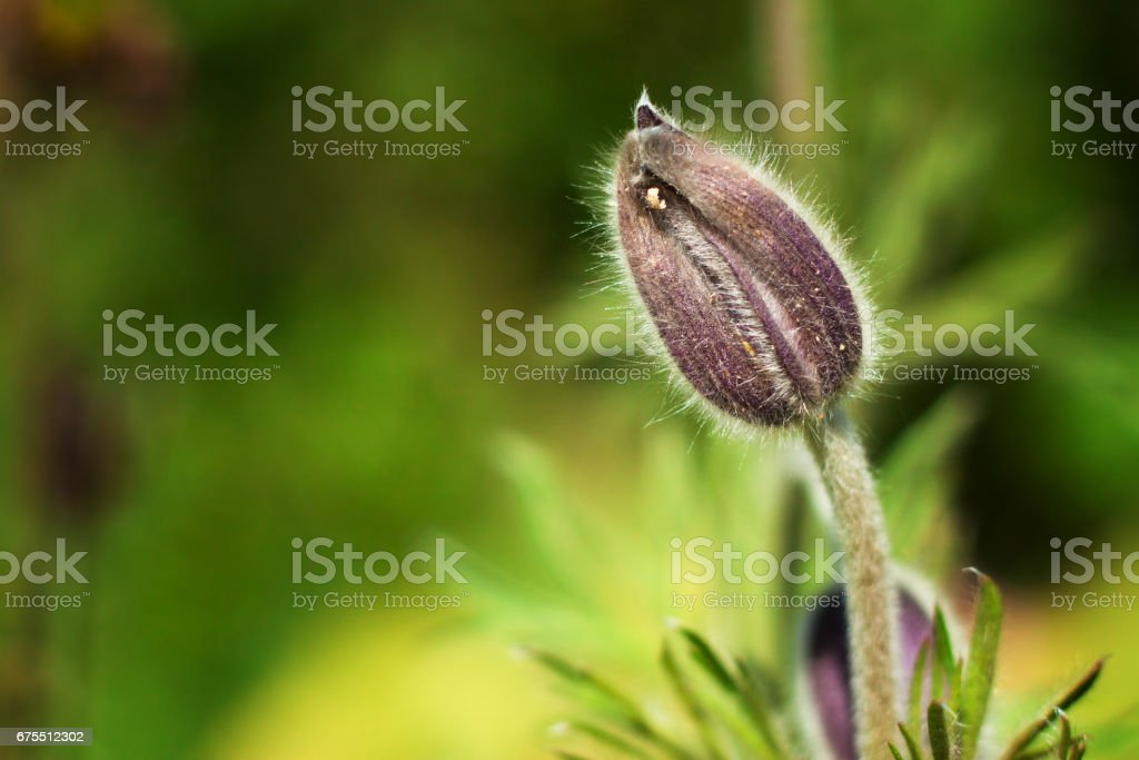 Tightly closed bud magnolia royalty-free stock photo