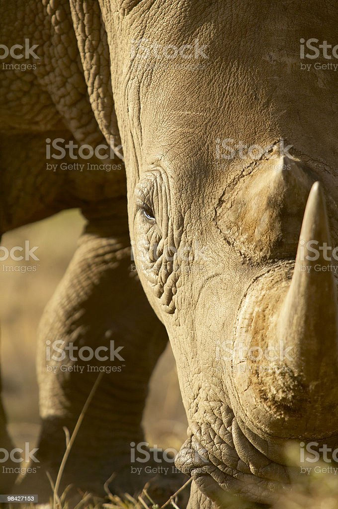 Tightly cropped portrait of a white rhino royalty-free stock photo