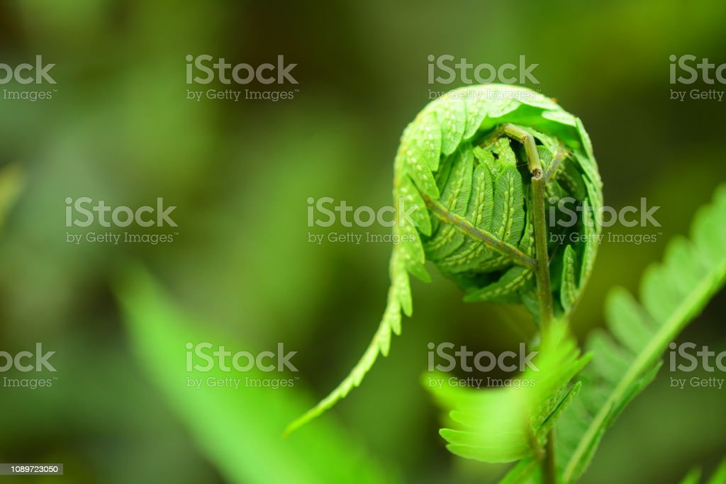 New leaves curled up in a ball on a fern, wit the outermost leaf...