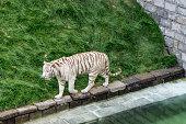Un tigre blanc du Bengale dans un parc animalier