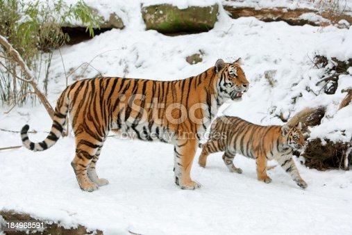 istock Tigress And Cub In Winter 184968591