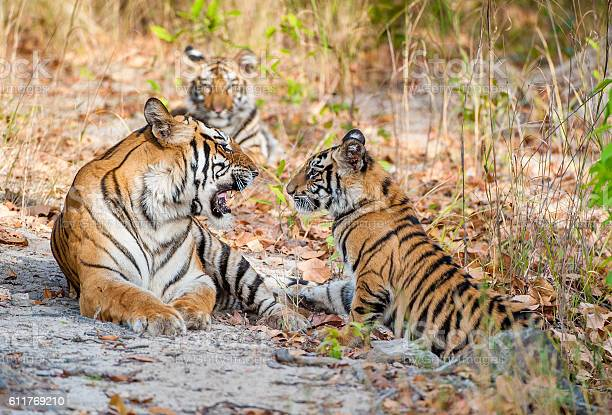 Tigress and cubs picture id611769210?b=1&k=6&m=611769210&s=612x612&h=3glgdsiipyn8l6dlxuehwkgpm zrvitvzyqtzddgpz0=