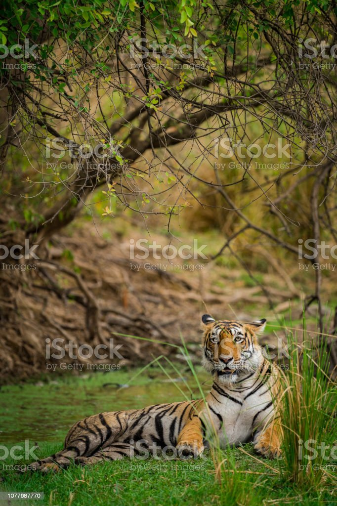 A Tigress Arrowhead in a beautiful backdrop and nature greens at Ranthambore Tiger Reserve, India A Tigress Arrowhead in a beautiful backdrop and nature greens at Ranthambore Tiger Reserve, India Aggression Stock Photo