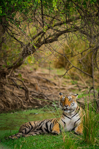 A Tigress Arrowhead In A Beautiful Backdrop And Nature Greens At Ranthambore Tiger Reserve India Stock Photo - Download Image Now