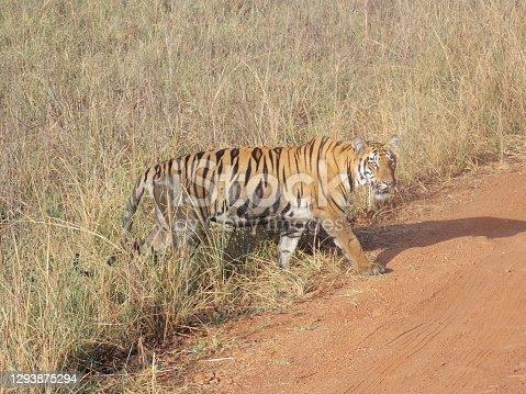 istock Tigress at Tadoba 1293875294