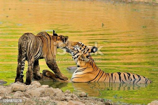 istock Tigress Greets her Baby 1294870278