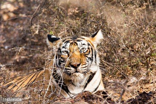 Beautifull tigress, Ranthambore, gave me good poses to shoot.